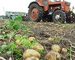 Jau novāc kartupeļus
