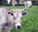 Zilās govis audzē vairāk priekam nekā pienam