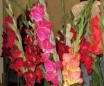 Latviešu biedrības namā jau trešo gadu uzzied gladiolas