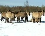 Papes ezera pļavās savvaļas zirgiem un govīm sāk dzimt mazuļi