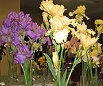 Krāšņa īrisu ziedu izstāde Latviešu biedrības namā