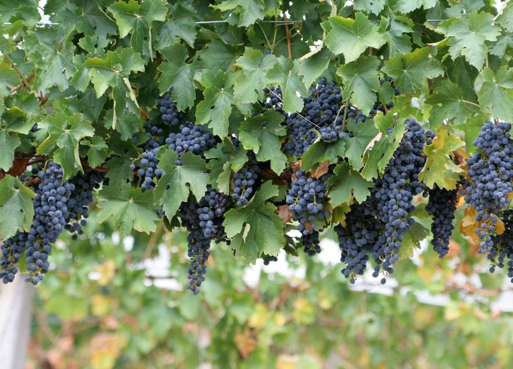 Selekcionārs no Cīravas pagasta reģistrē piecas jaunas vīnogu šķirnes
