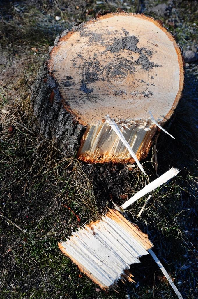 Izsludināta publiskā apspriešana par koku ciršanu Turaidas ielā