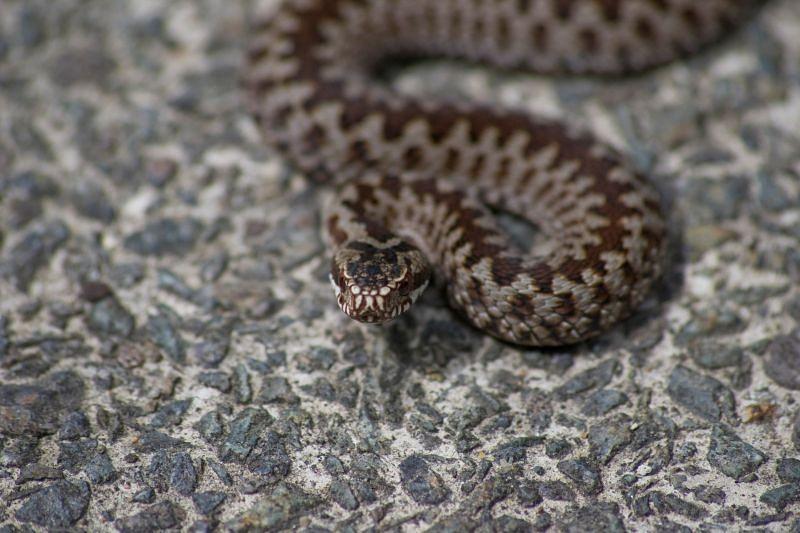 Slimnīcā nogādā odzes sakostu sievieti; no indīgajām čūskām cietuši arī suņi