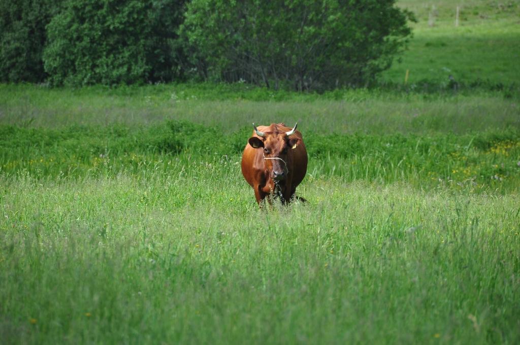 Sakož govis