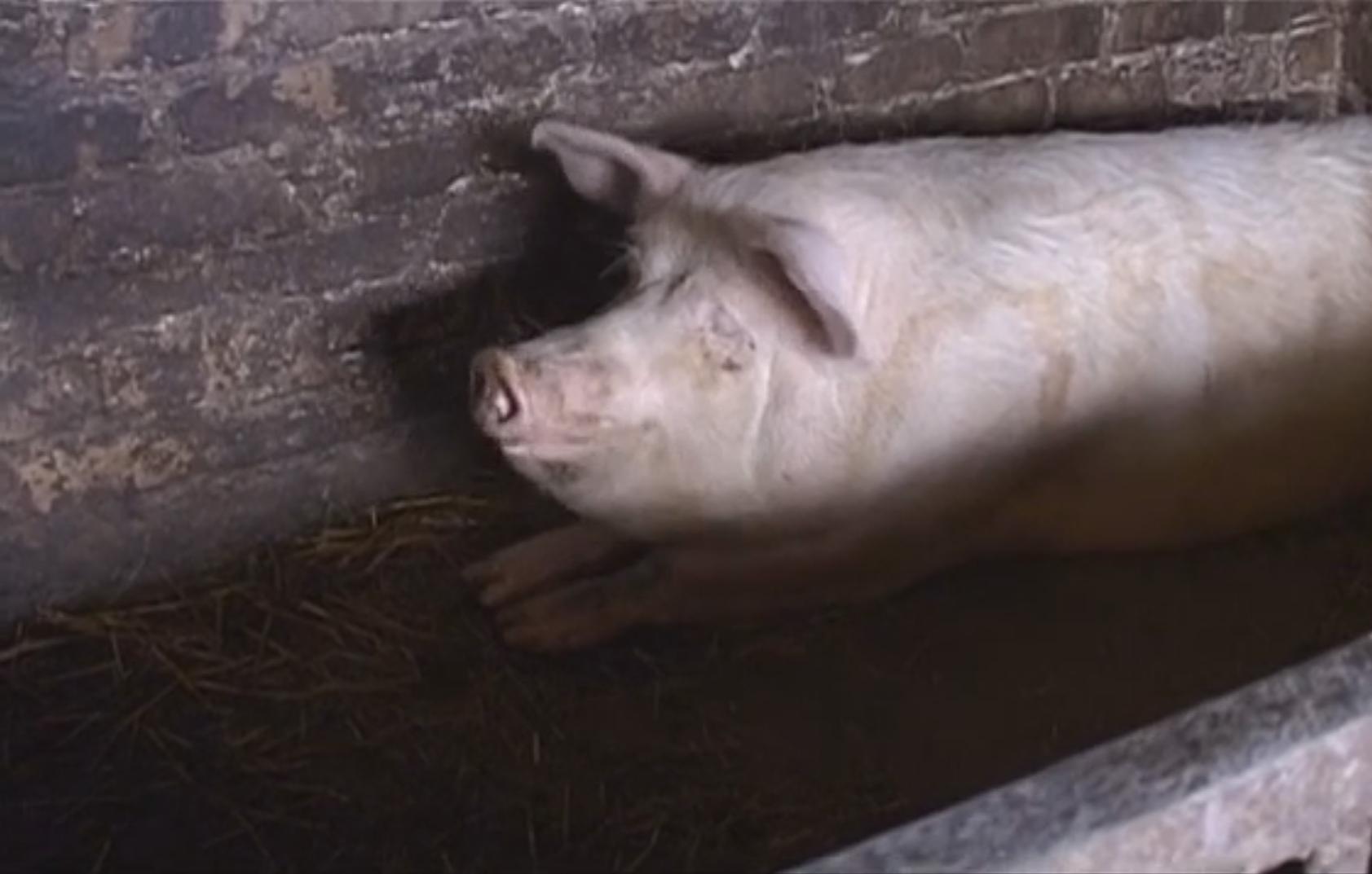 Par dzīvnieku labturības pārkāpumiem draud lopu konfiskācija