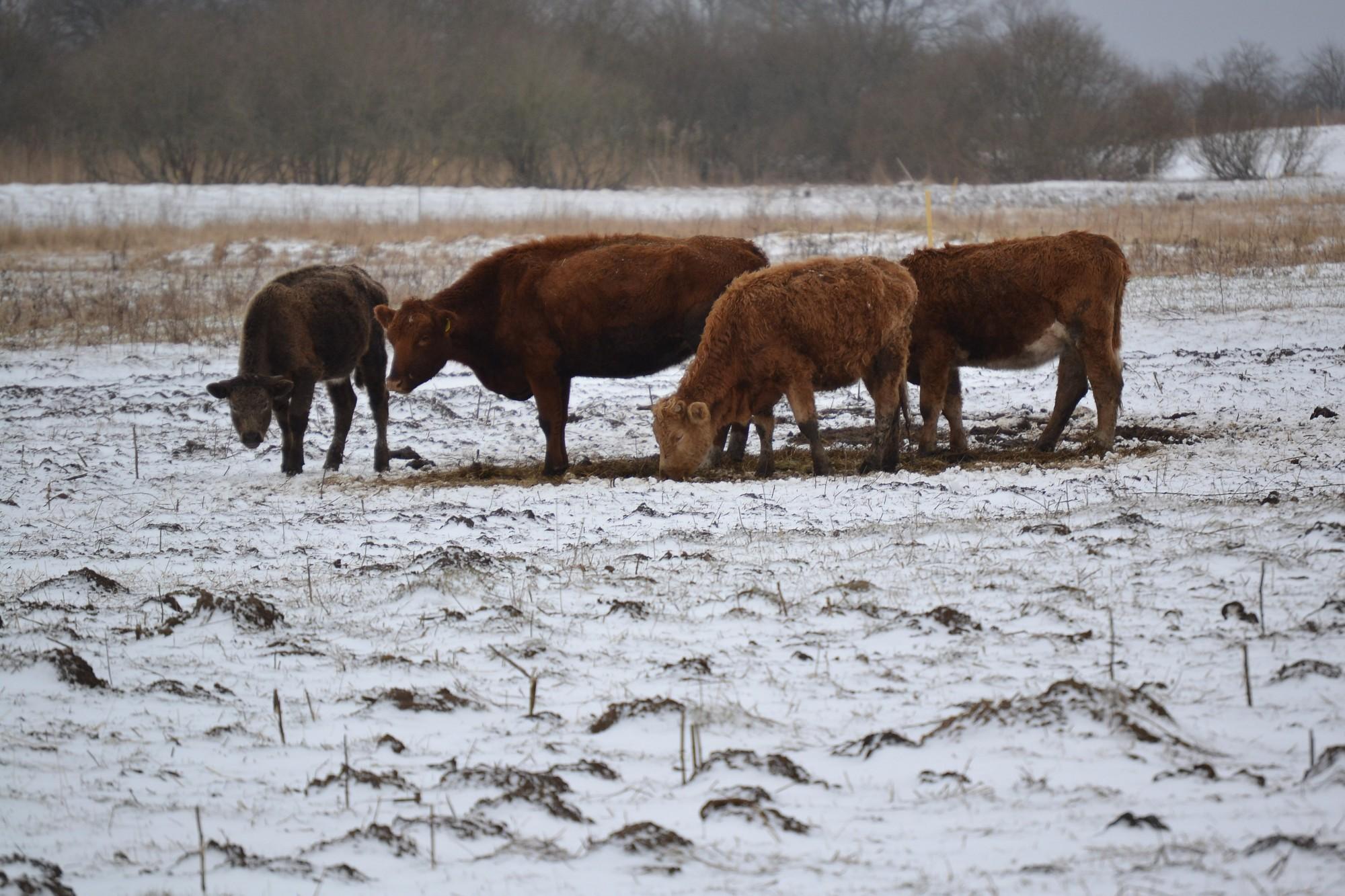 """Kalētu fermas saimnieks: """"Lielākā daļa lopu dzīvo labos apstākļos!"""""""