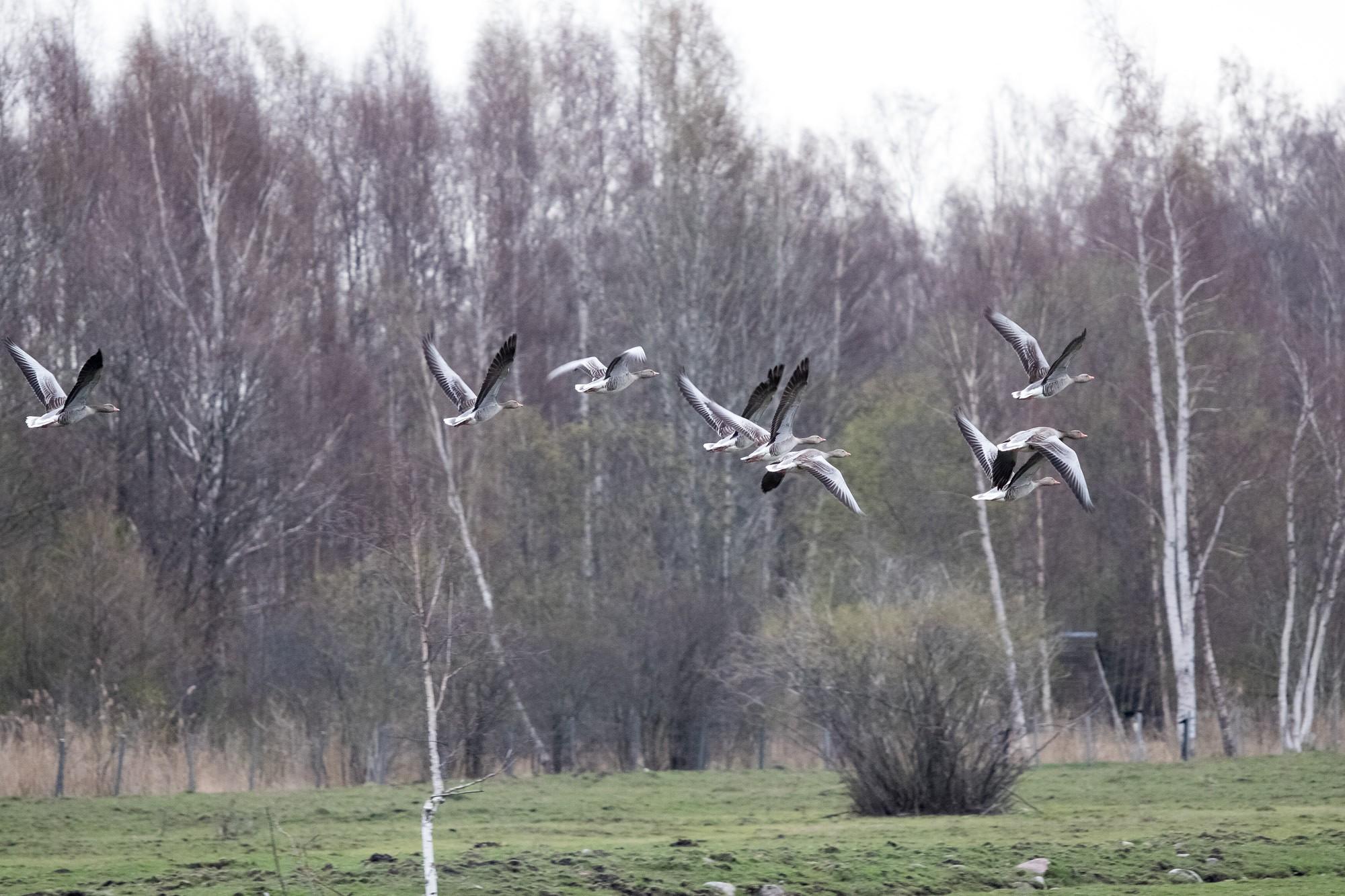 Kompensē putnu nodarījumus