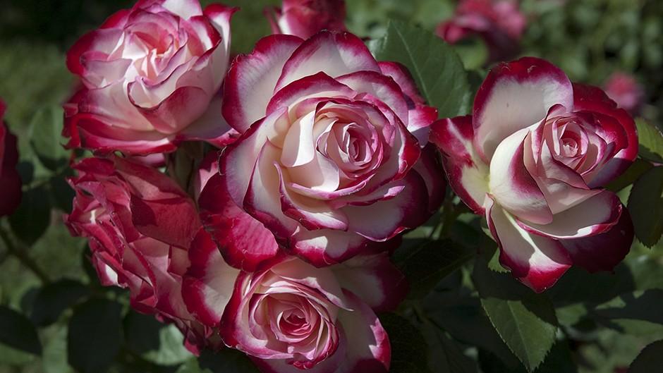 Noskaidrota skaistākā Latvijas simtgades roze