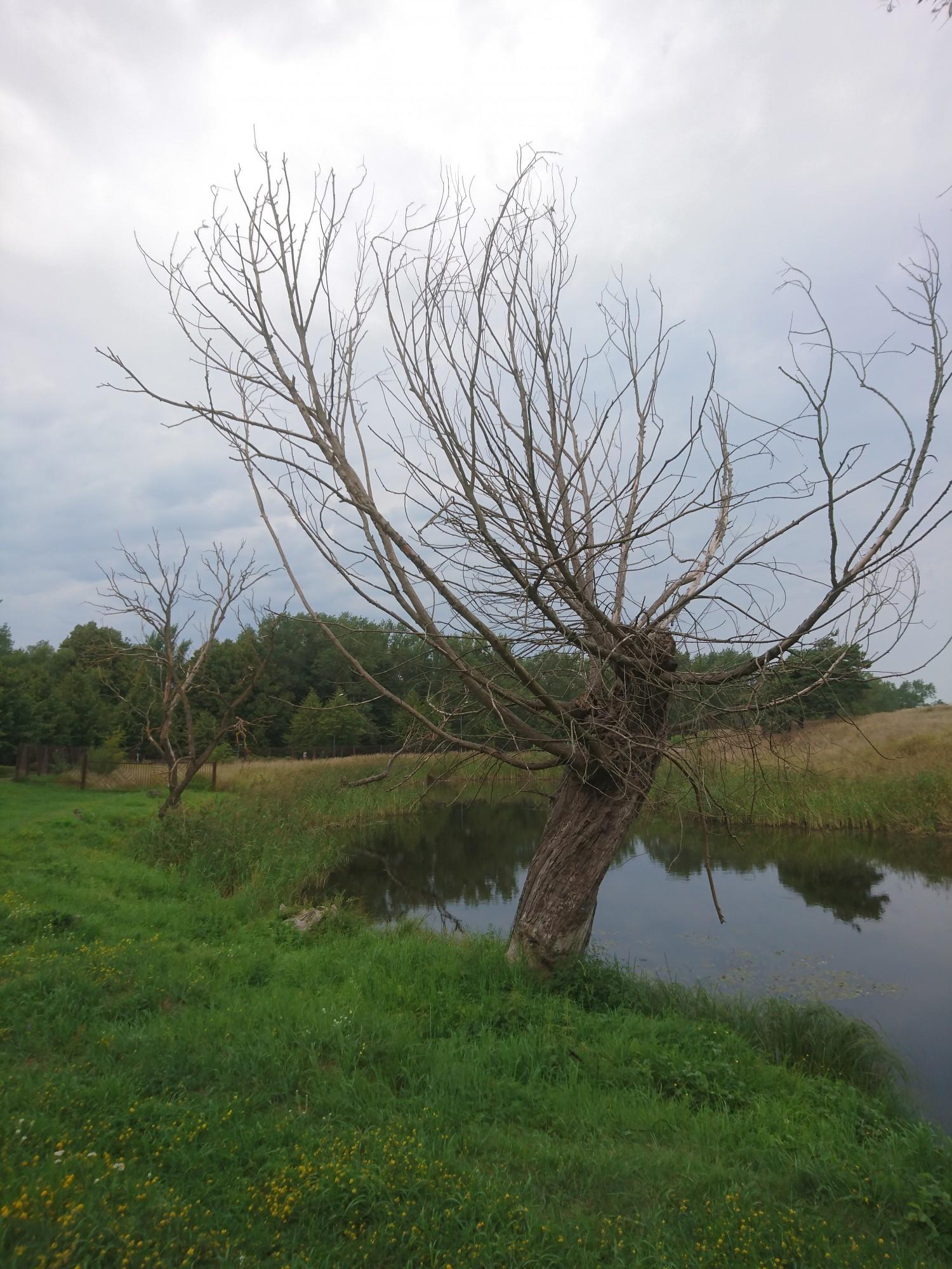 Aicina izteikt viedokli par koku ciršanu Zvejnieku alejā