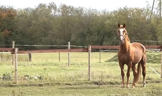 Zirgu audzētājiem bažas par siena trūkumu