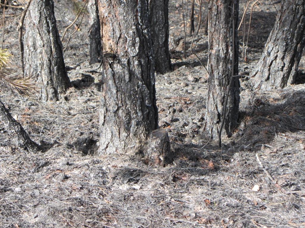 Karostā deg meža zemsedze
