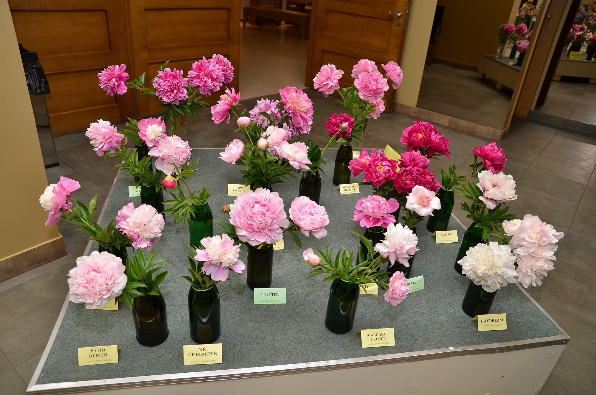 Apmeklētājus priecēs krāšņie peoniju ziedi