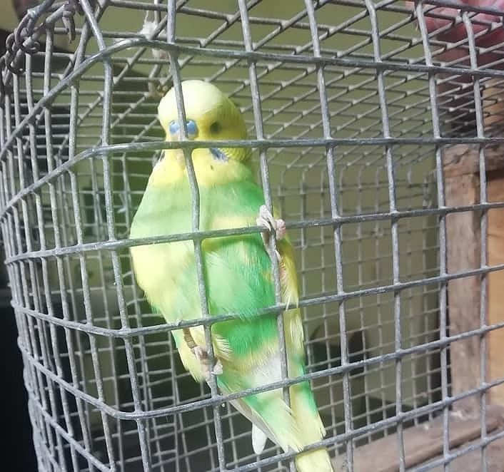 Patversmē nonāk papagailis