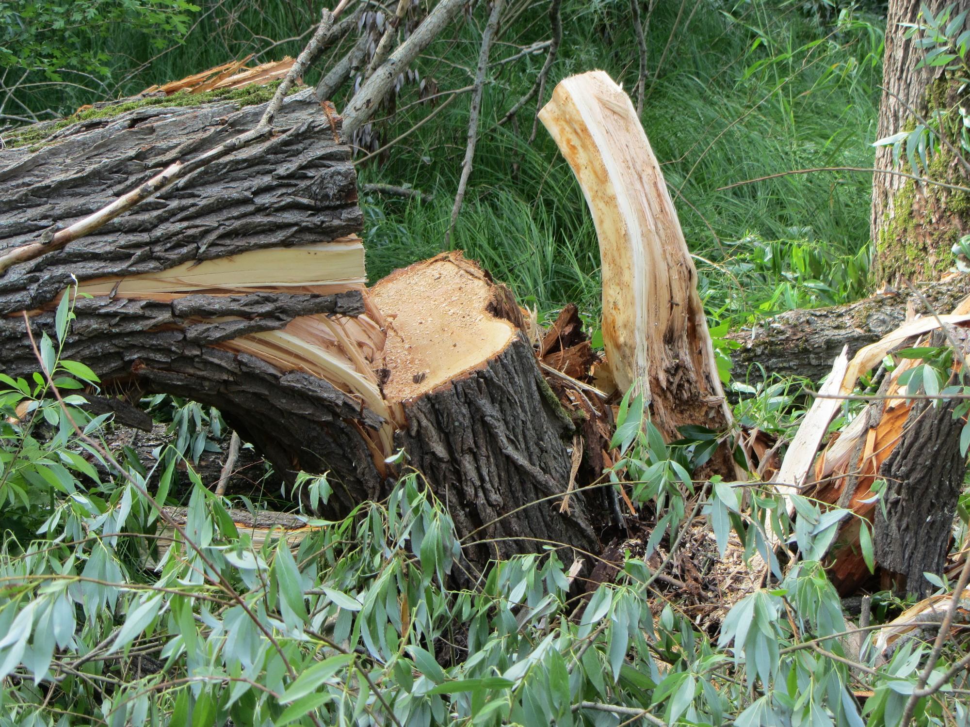Aicina apspriest koka ciršanu Dzērves ielā