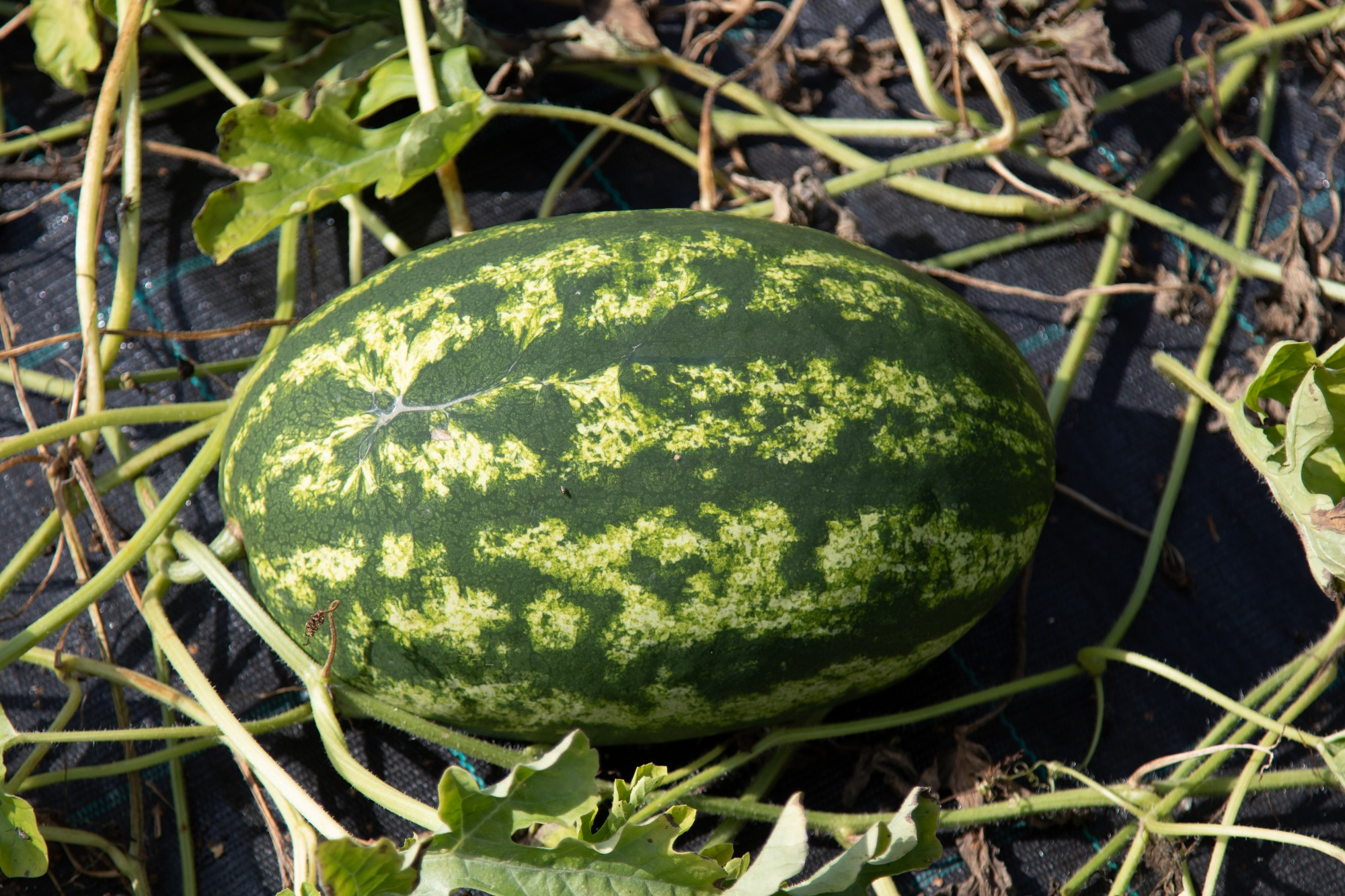 PVD un SPKC noraida sociālajos tīklos pausto par bīstamiem importētiem augļiem