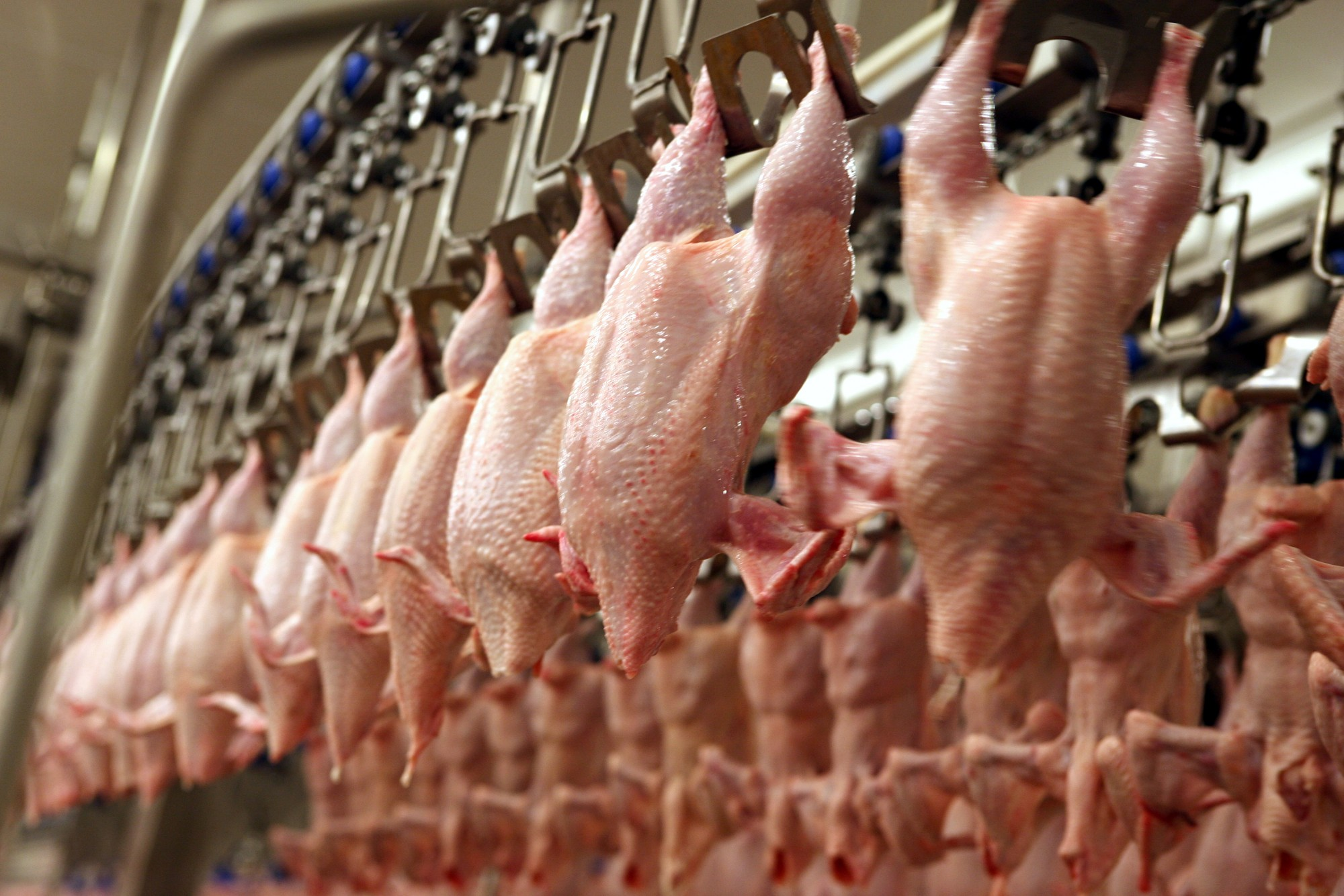 Ar salmonellu inficētās vistas atvestas arī uz Liepāju