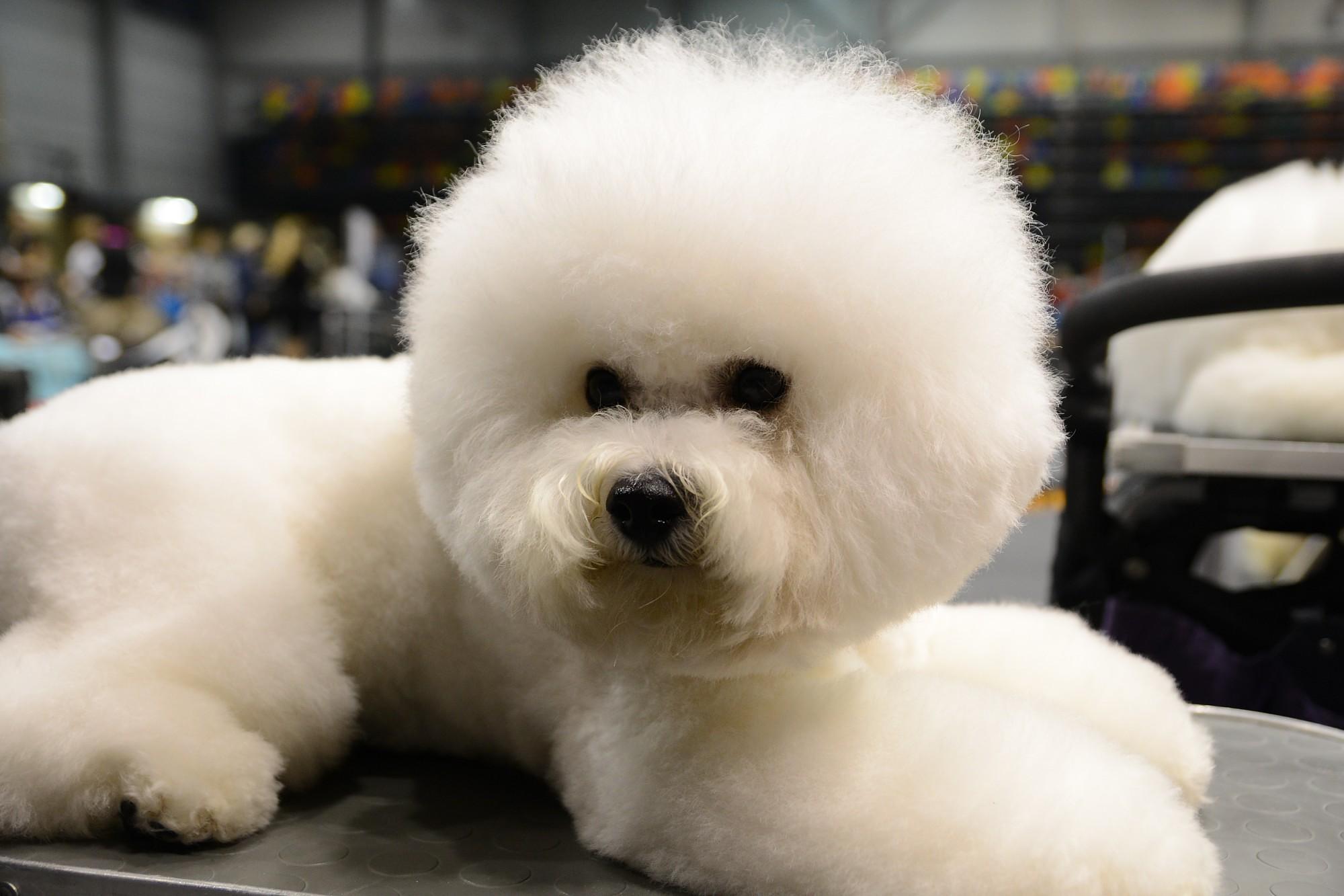 Suņu izstādē būs skaistākie un titulētākie