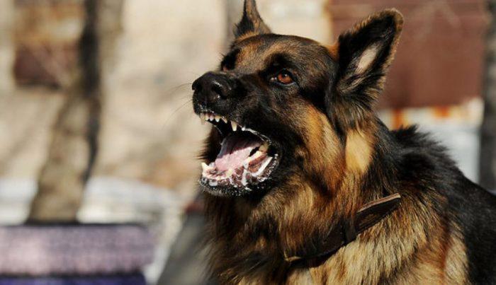 Liels suns Dunikas ielā nokož čivavu