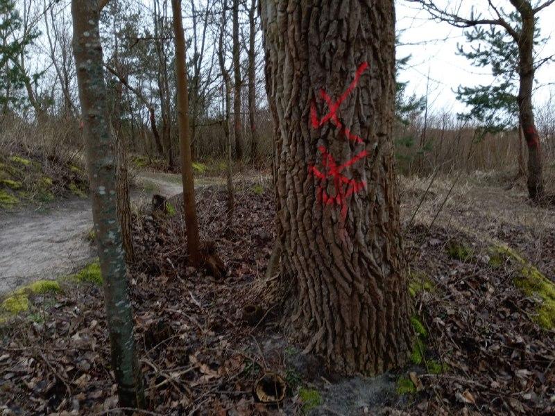 Vairāk nekā 40 koku plānoto izciršanu skaidro ar kāpu zonas attīrīšanu