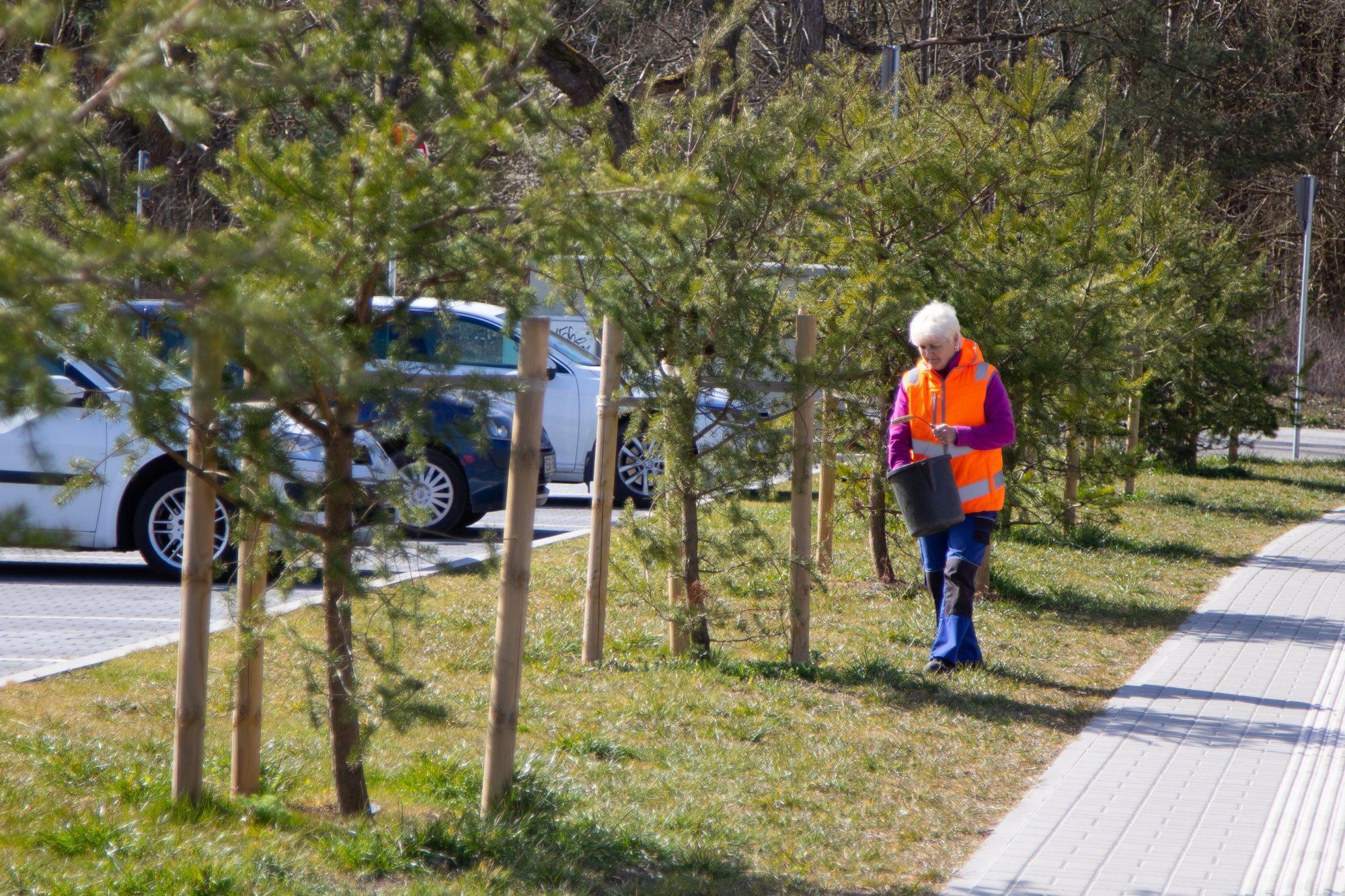 Apstādījumos atraitnītes sastādītas, pabaro jaunos kociņus