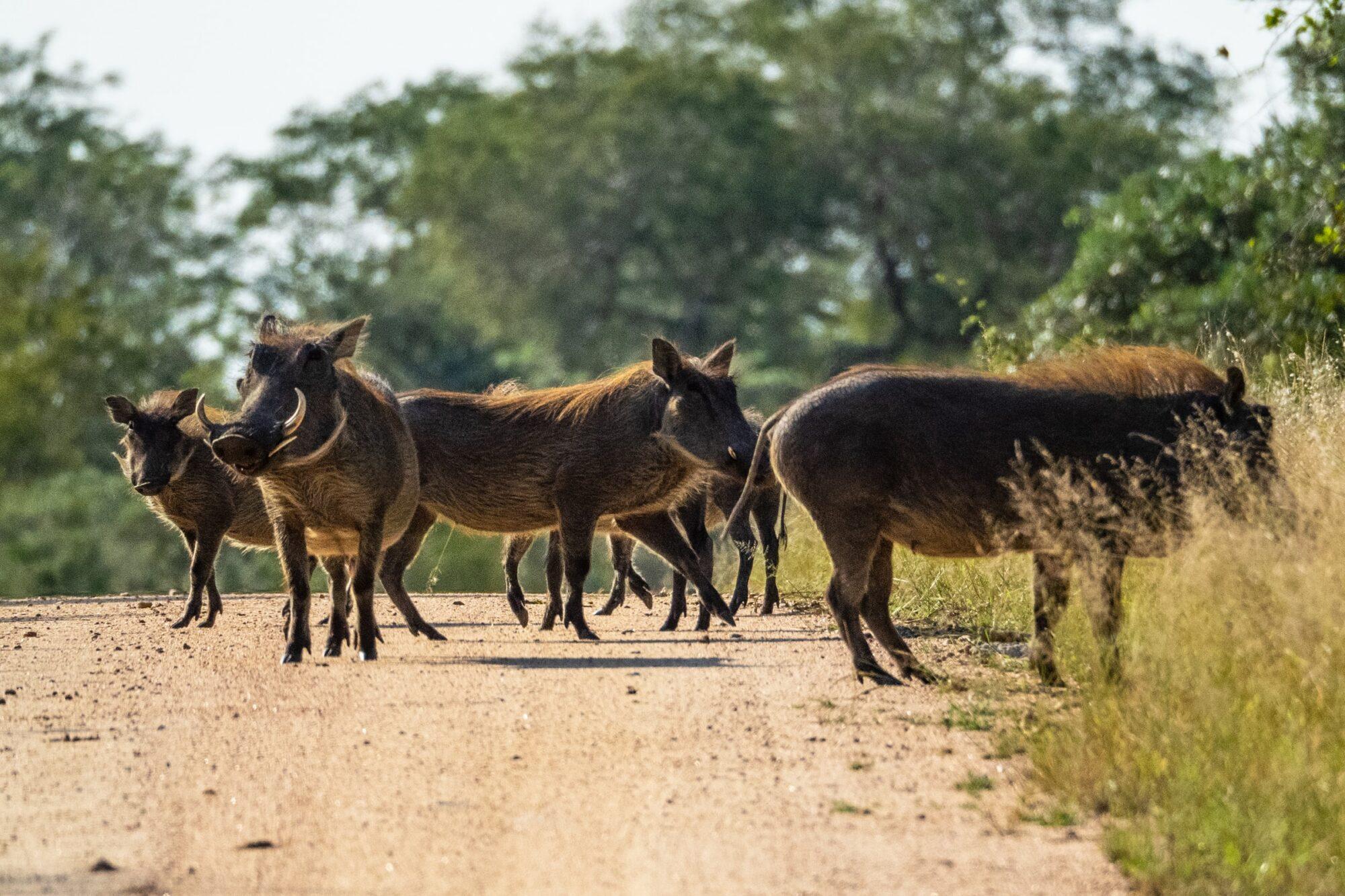 Dienas prieks: Mežu dzīvnieki organizēti šķērso ceļu pilsētā