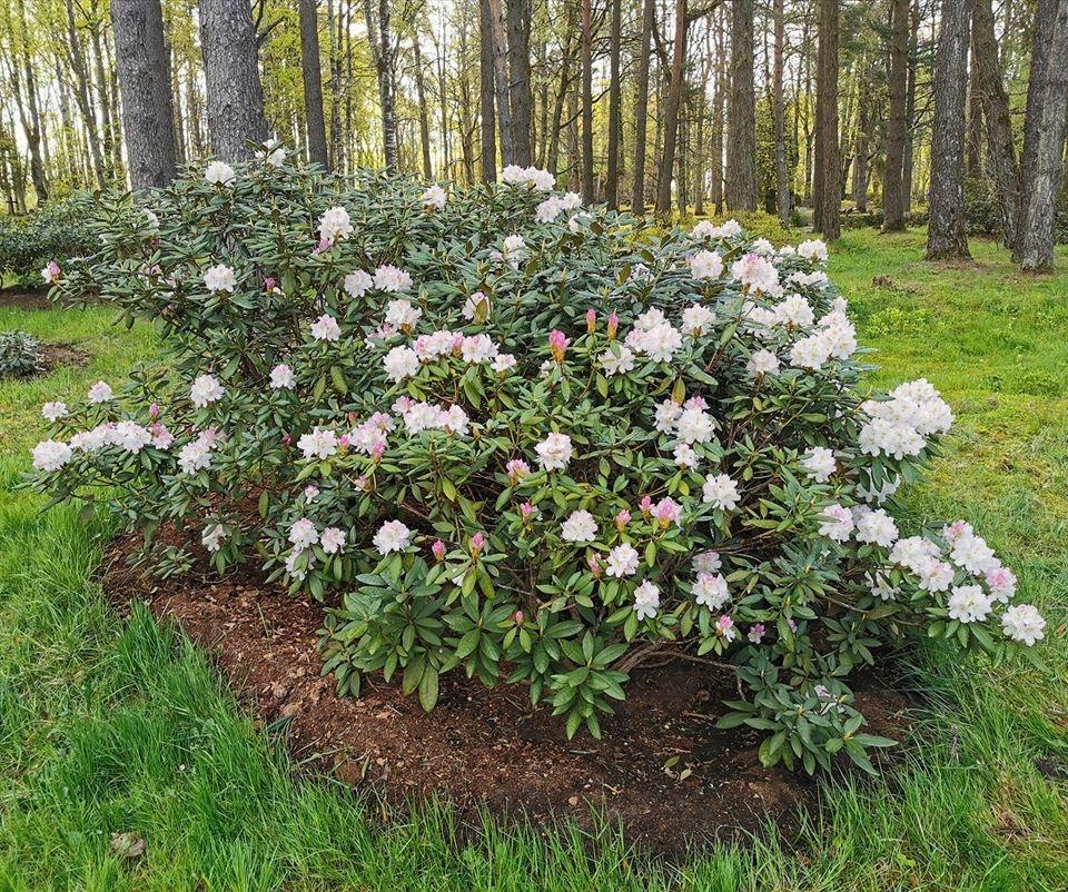 Rododendru dārzam Cīravā ziedoša desmitgade
