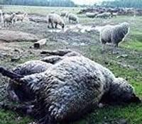 Apkārt klīstoši suņi sarīko asinspirti aitu ganāmpulkā