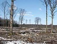 Še, kur līgo mežs bez kokiem…