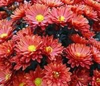 Mīlestības puķes uzzied neatlaidīgajiem