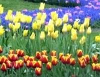 Plaukstas lieluma pavasaris Nīderlandes ziedonī