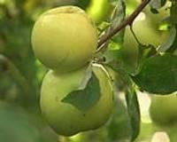 Bagātīgs, bet ļoti nekvalitatīvu ābolu gads