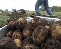 Bezdarbnieku novāktos kartupeļus izdalīs trūcīgajiem