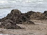 Jūras aļģes traucē atpūtai