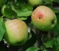 Augļkopji: Ābolu varētu būt arī vairāk