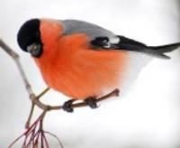 Pastkaršu putniņš no ziemeļiem