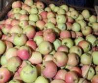 """Zemniece: """"Vajag ņemt jauno ābolu!"""""""