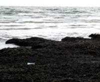 Papildināts – Ir iespējams vākt jūras mēslus savu dārzu augsnes uzlabošanai