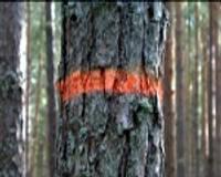 Kokus izcirtīs pēc likumiem