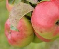 Ābolu audzēšana kā dārgs hobijs