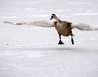 Gulbji uz ledus mēdz atpūsties