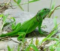 Krokodilus un žņaudzējčūskas liepājnieki nelolo