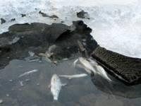 Seklā ūdens līmeņa dēļ, ledū iesalst zivis