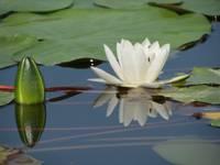 Mūspuses ūdenskrātuvēs zied ūdensrozes