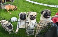 Atklāta grandioza suņu izstāde