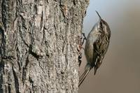 Putnu vērotāji Latvijā otro reizi piefiksējuši īspirkstu mizložņu