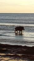 Papildināts – Mežacūka plunčājas Liepājas pludmalē