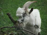 Suņi uzbrūk kazu ganāmpulkam