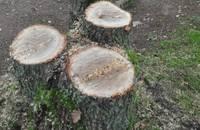 Patvaļīgi zāģē kokus