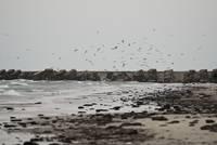 """Vētra dzen krastā jūras """"veltes"""""""